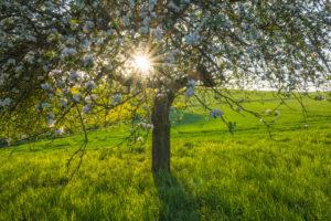 Apfelbaum, Blüte, Sonne, Frühling, Schmachtenberg, Spessart, Bayern, Deutschland