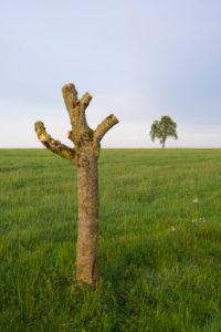 Apfelbaum, geschnitten, Wiese, Frühling, Vielbrunn, Michelstadt, Odenwald, Hessen, Deutschland