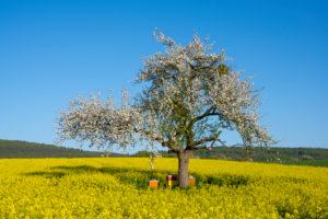 Apple tree, rapeseed field, blossom, beehive, spring, Schmachtenberg, Spessart, Bavaria, Germany