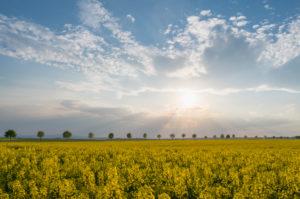 Rape field, row of trees, clouds, sunset, spring, Echzell, Wetterau, Hesse, Germany