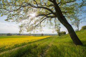 Oak, path, rape field, sunshine, spring, Mittlere Horloffaue, Unter-Widdersheim, Wetterau, Hesse, Germany