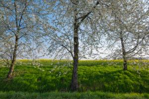 Cherry tree, blossom, spring, Neudorf, Amorbach, Odenwald, Bavaria, Germany