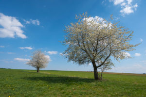 Cherry tree, blossom, meadow, spring, Vogelsberg, Hesse, Germany