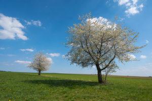 Kirschbäume, Blüte, Wiese, Frühling, Vogelsberg, Hessen, Deutschland