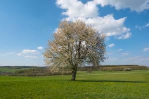 Kirschbaum, Blüte, Wiese, Frühling, Vogelsberg, Hessen, Deutschland