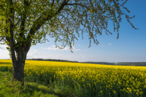 Rape field, cherry tree, blossom, spring, Neudorf, Amorbach, Odenwald, Bavaria, Germany