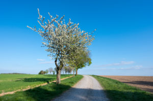 Dirt road, cherry tree, blossom, spring, Neudorf, Amorbach, Odenwald, Bavaria, Germany