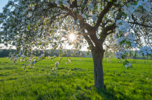 Cherry tree, blossom, meadow, evening, sun, spring, Wenschdorf, Miltenberg, Odenwald, Bavaria, Germany