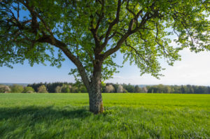 Grain field, pear tree, spring, Neudorf, Amorbach, Odenwald, Bavaria, Germany