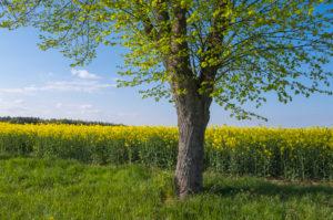 Rape field, linden tree, spring, Neudorf, Amorbach, Odenwald, Bavaria, Germany