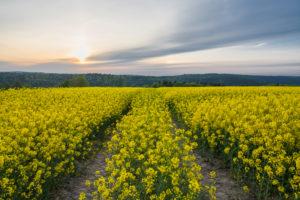 Rape field, track, sunrise, spring, Vielbrunn, Michelstadt, Odenwald, Hesse, Germany