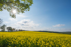 Rape field, maple tree, sunshine, spring, Neudorf, Amorbach, Odenwald, Bavaria, Germany
