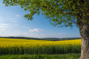 Canola field, maple tree, spring, Neudorf, Amorbach, Odenwald, Bavaria, Germany