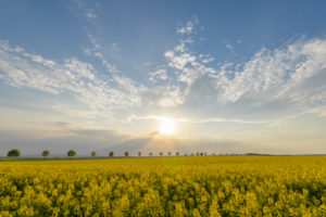 Rape field, row of trees, clouds, sunset, spring, Echzell, Wetterau, Hesse, Germany