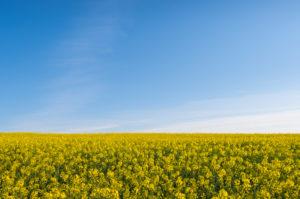 Rapeseed field, sky, spring, Großheubach, Spessart, Bavaria, Germany