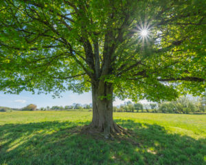 Maple tree, meadow, sunshine, spring, Vogelsberg, Hesse, Germany