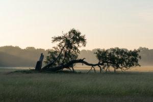 Eiche, Wiese, Dunst, Morgen, Sommer, Landschaftsschutzgebiet, Mönchbruch, Mörfelden-Walldorf, Hessen, Deutschland