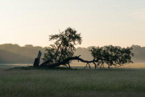 Oak, meadow, haze, morning, summer, landscape protection area, Mönchbruch, Mörfelden-Walldorf, Hesse, Germany