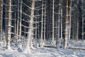Forest, conifers, winter, Odenwald, Baden-Württemberg, Germany