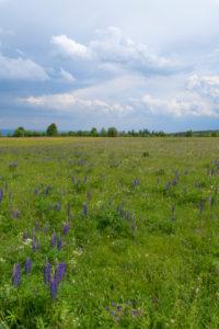 Meadow, many-leaved lupine, Lupinus polyphyllus, spring, Hausen, Lange Rhön, Rhön, Bavaria, Germany