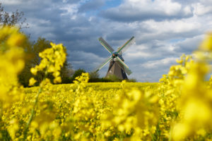 Germany, Schleswig Holstein, district of Plön, rape field, windmill, 'Windmühle Sventana' (windmill)