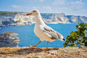 Sea gull at the coast of Bonifacio, Corsica