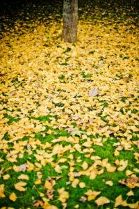 Herbstliches Laub vom Ginkgobaum,