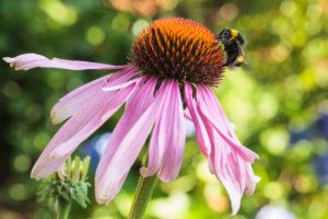 Purple coneflower, Echinacea purpurea, bumblebee