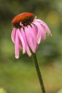 Purple coneflower, Echinacea purpurea,