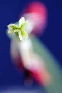 Macrophotography of a tulip with selective focus on pistil and petals