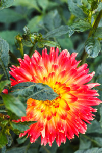 Semi Dinnerplate Dahlia 'Sights of Summer'