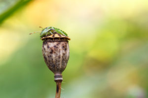 Green shield bug, Palomena prasina, on poppy seed capsule
