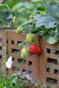 Strawberries, garden