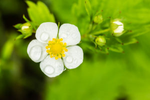 Wild strawberry, blossom