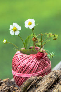 Wild strawberry in a spool of thread used as a vase