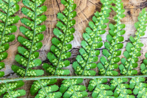 Fern fronds on wooden background,