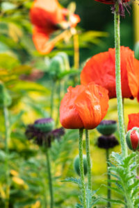 Poppies, Papaver