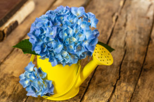 Blue hydrangea, decorative watering can as a vase, wooden background, still life