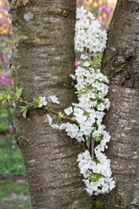 Cherry blossom, branch between two tree trunks
