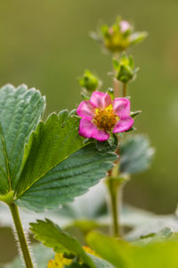 Pink strawberry blossom,  Garden Strawberry,  Fragaria ananassa