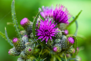 Common thistle, Cirsium vulgare, flower, buds