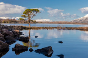 View of a pine tree on the banks of Loch Maree, Scotland, snow capped mountains on the horizon