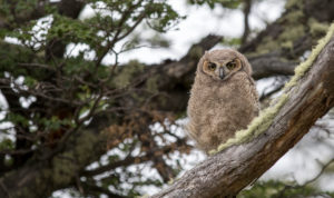 Branch of a Magellanic Eagle Owl looks down from a moss-covered tree in Torres del Paine National Park in Patagonia, Chile