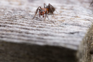 Macro shot of a red wood ant