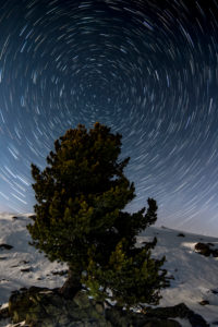 Star trails with pine in the portrait in winter