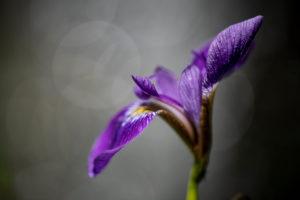 Violett blühende Schwertlilie in Wiese, Close-up, Iris