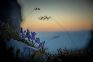 Mountain flowers on Hoher Burgstall Mountain at sunrise, Stubai Alps, Tyrol, Austria