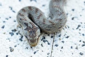 Schlingnatter auf Betonplatte, Close-up, Coronella austriaca