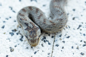 Smooth snake on concrete slab, close-up, Coronella austriaca