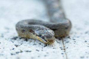 Smooth snake on concrete slab, close-up, Coronella austriaca